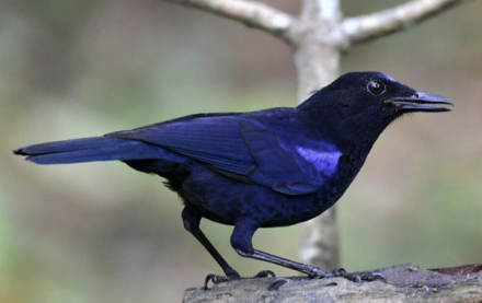 Malabar whistling thrush by Vijaykumar Thondaman - RAXA Collective