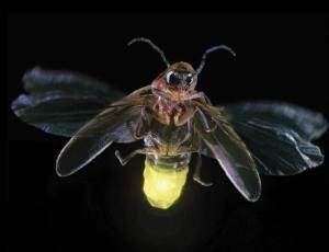 firefly lights up