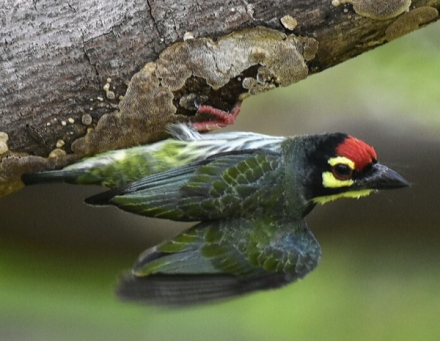 Coppersmith Barbet by Vijayjumar Thondaman - RAXA Collective