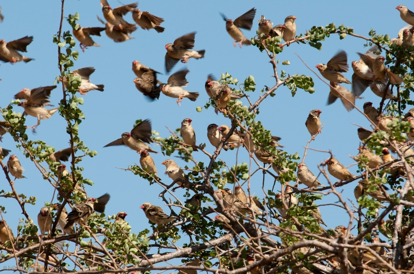 Red-billed queleas, peskiest bird