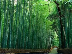 Bamboo, nature