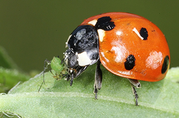 Aphid being eaten by Ladybird