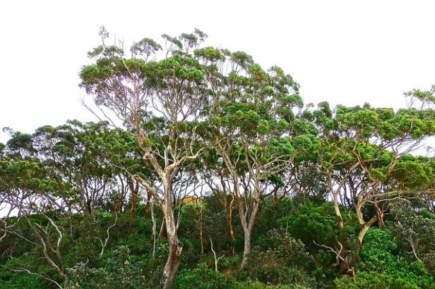 Trees, gum tree, Eucalyptus, Australia, Nature